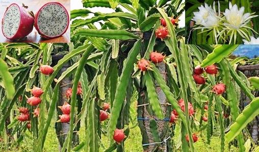 Cultivo da pitaia a fruta do dragão