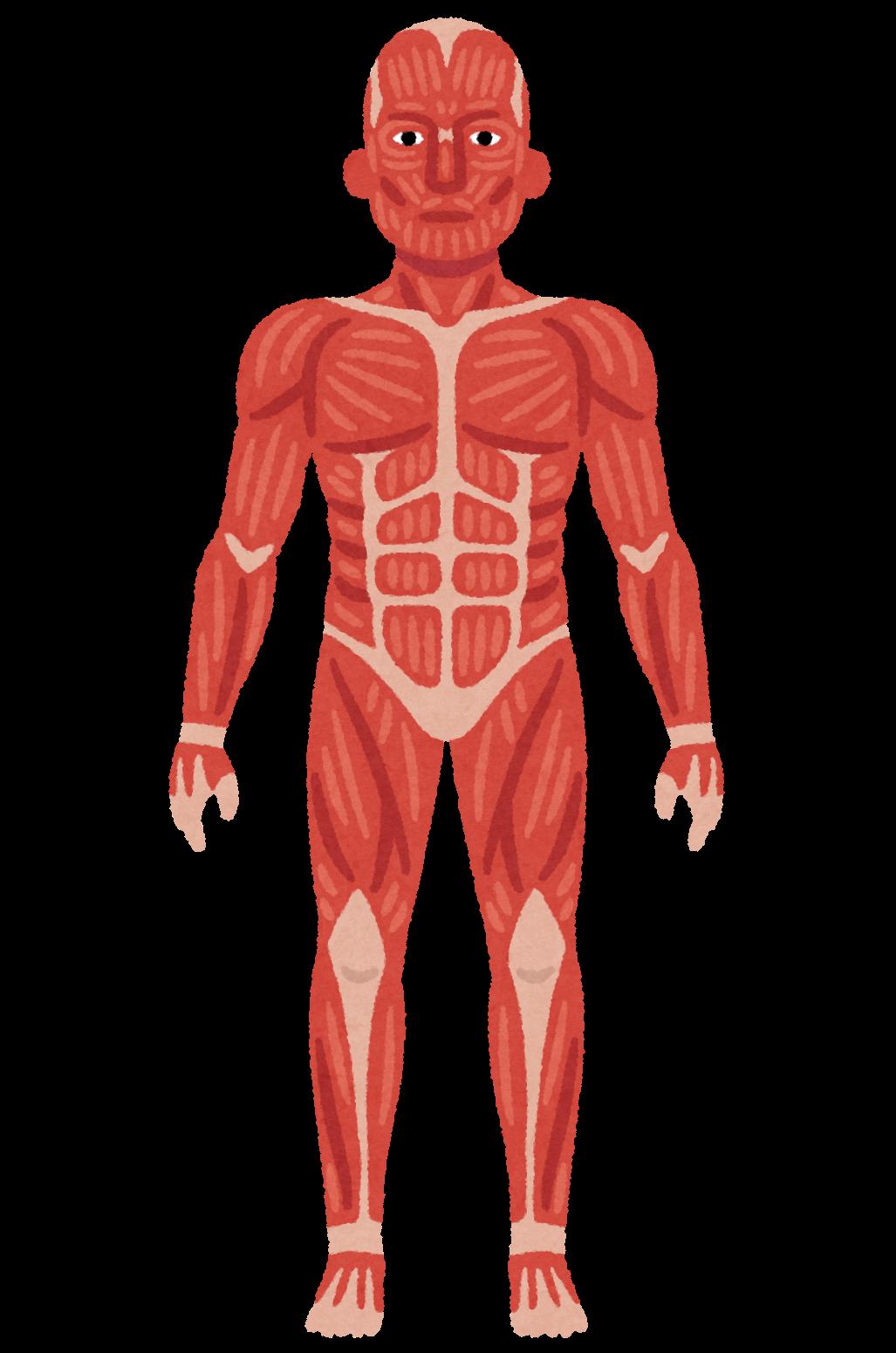 全身の筋肉のイラスト   かわいいフリー素材集 いらすとや