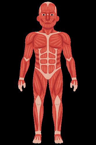 全身の筋肉のイラスト | かわいいフリー素材集 いらすとや