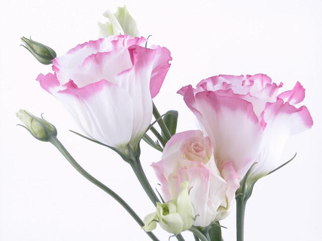 hoa cát tường đẹp nhất 1