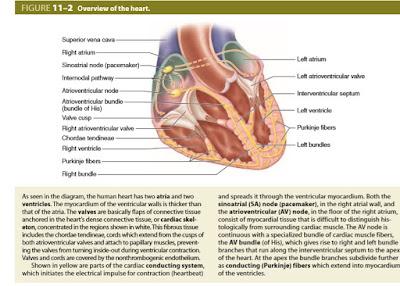 Histologi conducting System