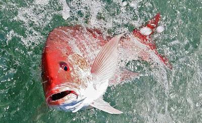 Snappers atau Ikan Kakap
