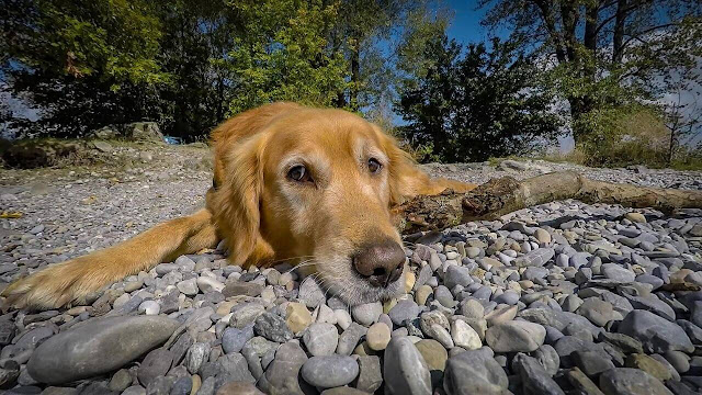 Are Golden Retrievers Picky about their Sleeping Spots?