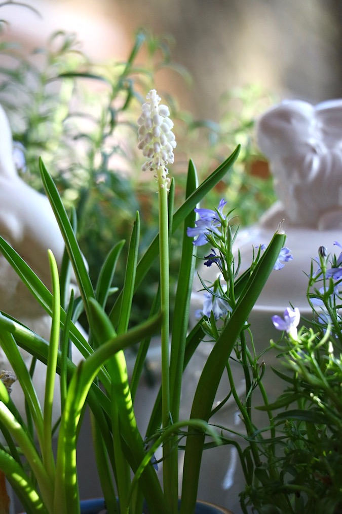 White grape hyacinths are part of a Spring Blue and White Basket Arrangement