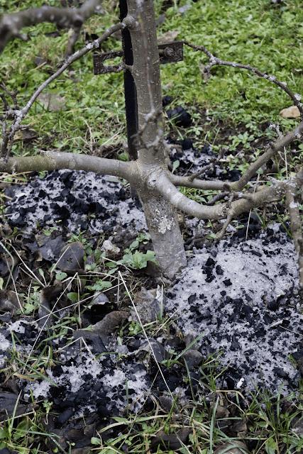 Õunapuu tuhkamine