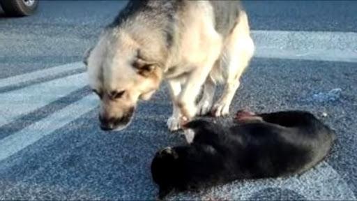 В центре города образовалась пробка из-за скорбящей по своему товарищу собаки