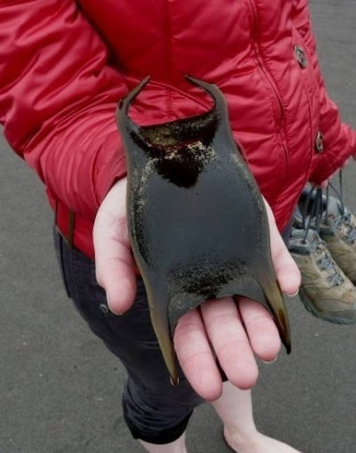 O ovo de um peixe-manta