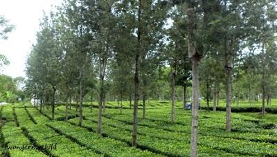 lokasi wisata kebun teh wonosari malang