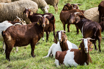 caprele oile domesticite