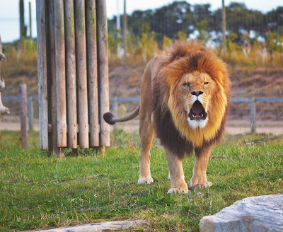 A lion roars.