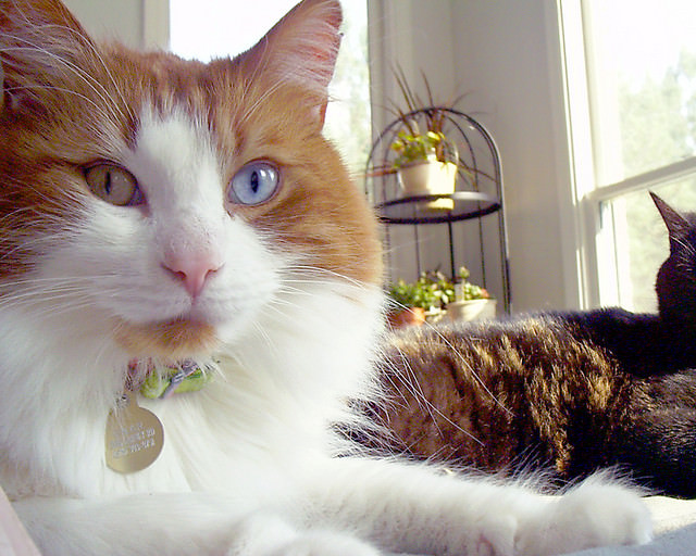 photos of some cats with different colored eyes