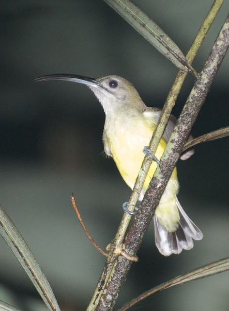 Little Spiderhunter (Arachnothera longirostra)