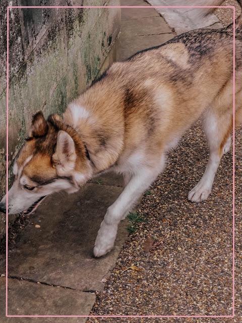 fluffy dog found in london