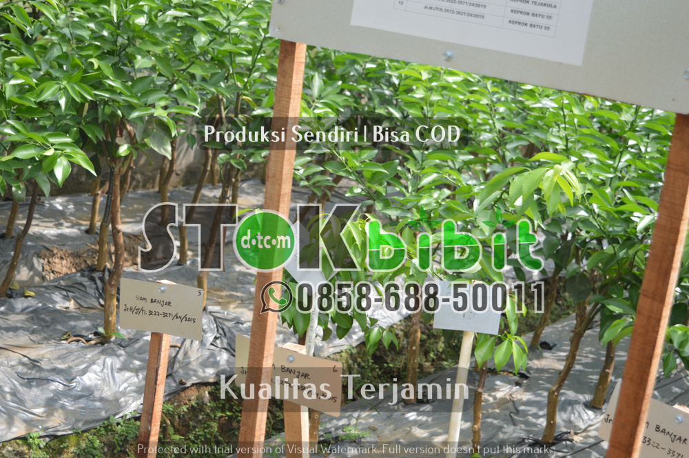 Bibit Durian Bawor      Berkwalitas     Grosir