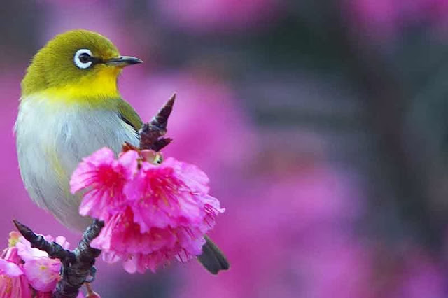 bird, Japanese White Eye,Cherry blossoms