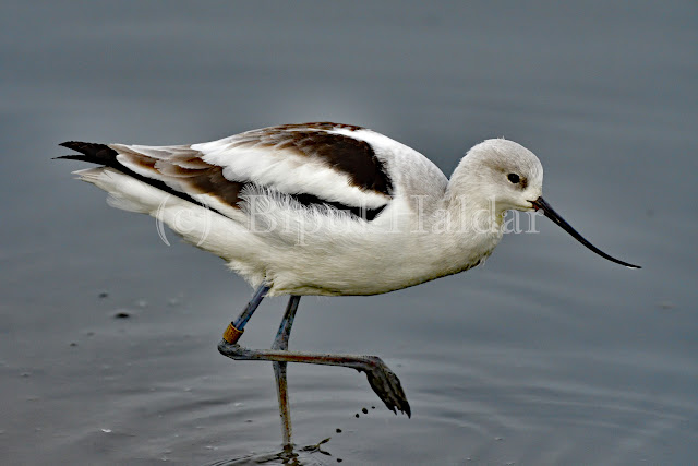 An American Avocet strolling on shallow water