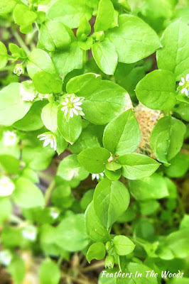 Chickweed, picture to identify it