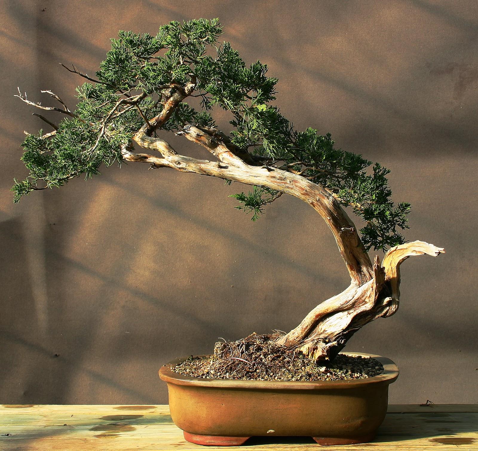 profession bonsa juniperus sabina vendre. Black Bedroom Furniture Sets. Home Design Ideas
