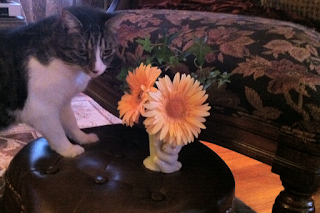 Isosceles Cat with Gerbera Daisies - Stein Your Florist Co.