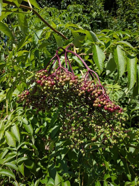 Elderberries - A Life Unprocessed