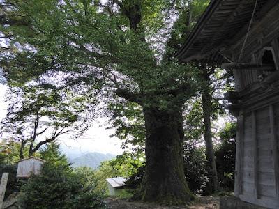 松尾寺の大イチョウ