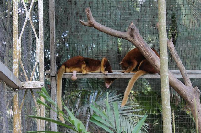 Port Moresby Nature Park Tree kangaroo