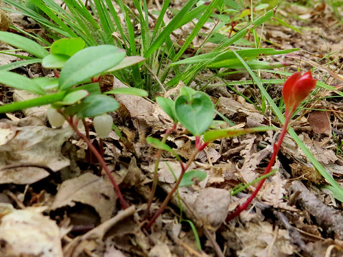 wintergreen shoots
