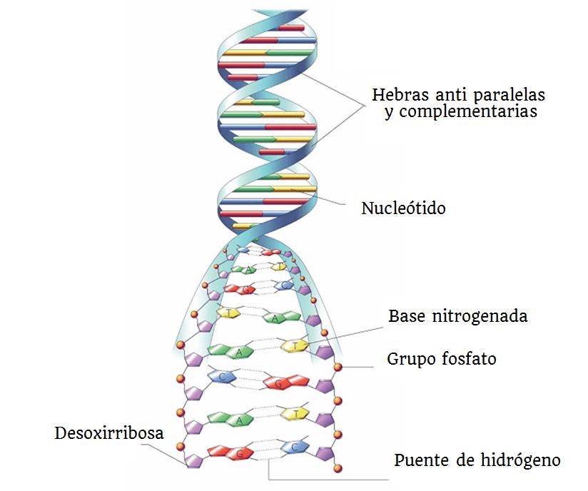Estructura Y Función Del Adn Biología Escolar