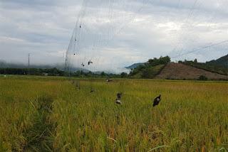 Bẩy chim yến bằng lưới.