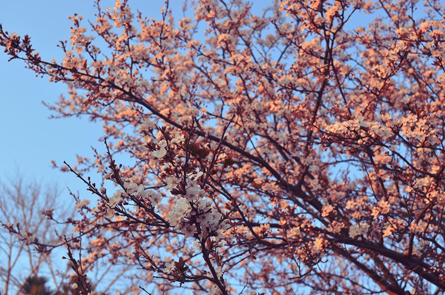 copac inflorit primavara