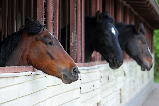 Three horses standing in stables with their head over the stable doors