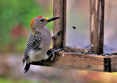 Photo of Golden-fronted Woodpecker on feeder
