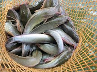 Panduan Teknis Budidaya Ikan Lele Nasa