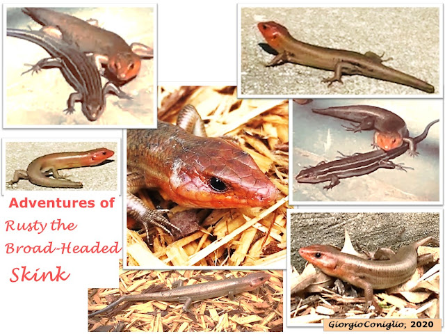 collage; photography; South Carolina; reptile; lizard; broad-headed skink; Plestiodon laticeps;Giorgio Coniglio