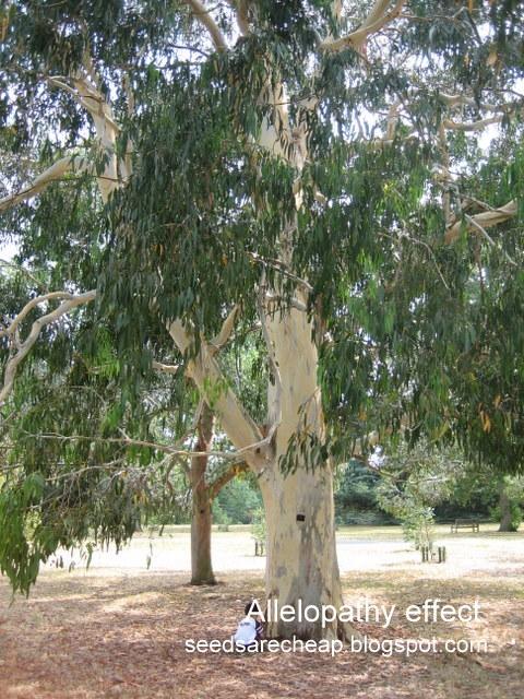 Eucalyptus Tree Pictures 81