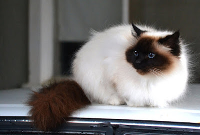 Long Haired Cats