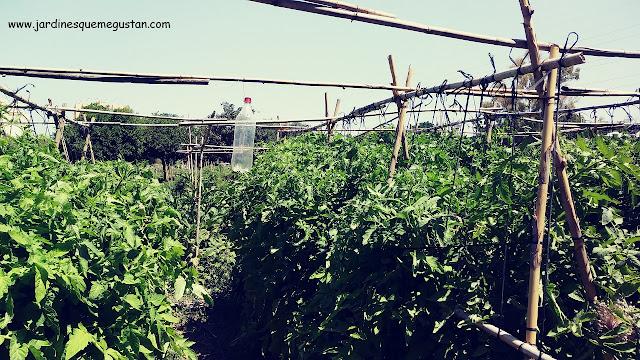 Entutorado de hortalizas