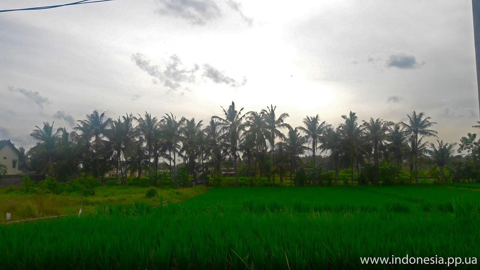 Рисовые поля в Убуде