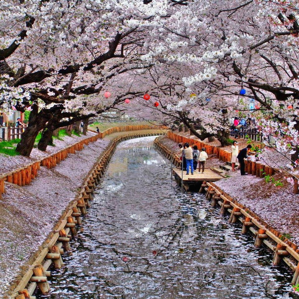 Japanese Cherry Blossoms On The Both Side Of Canal, Kyoto