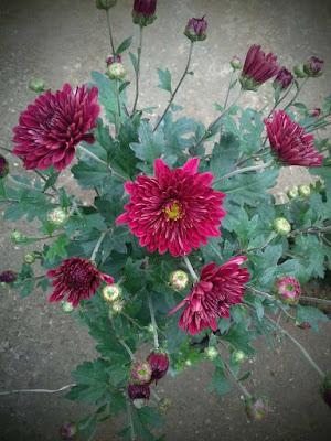 Hình ảnh cây giống hoa cúc cổ đỏ sơn la