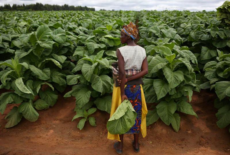 Plantações de tabaco no Zimbabwe