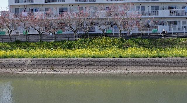 川面に映える菜の花
