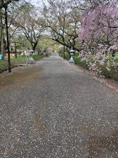 櫻花的狀況(30.4.9)