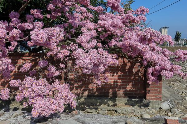 台中北屯粉紅風鈴木秘境,粉紅風鈴花垂降到紅磚牆外好好拍