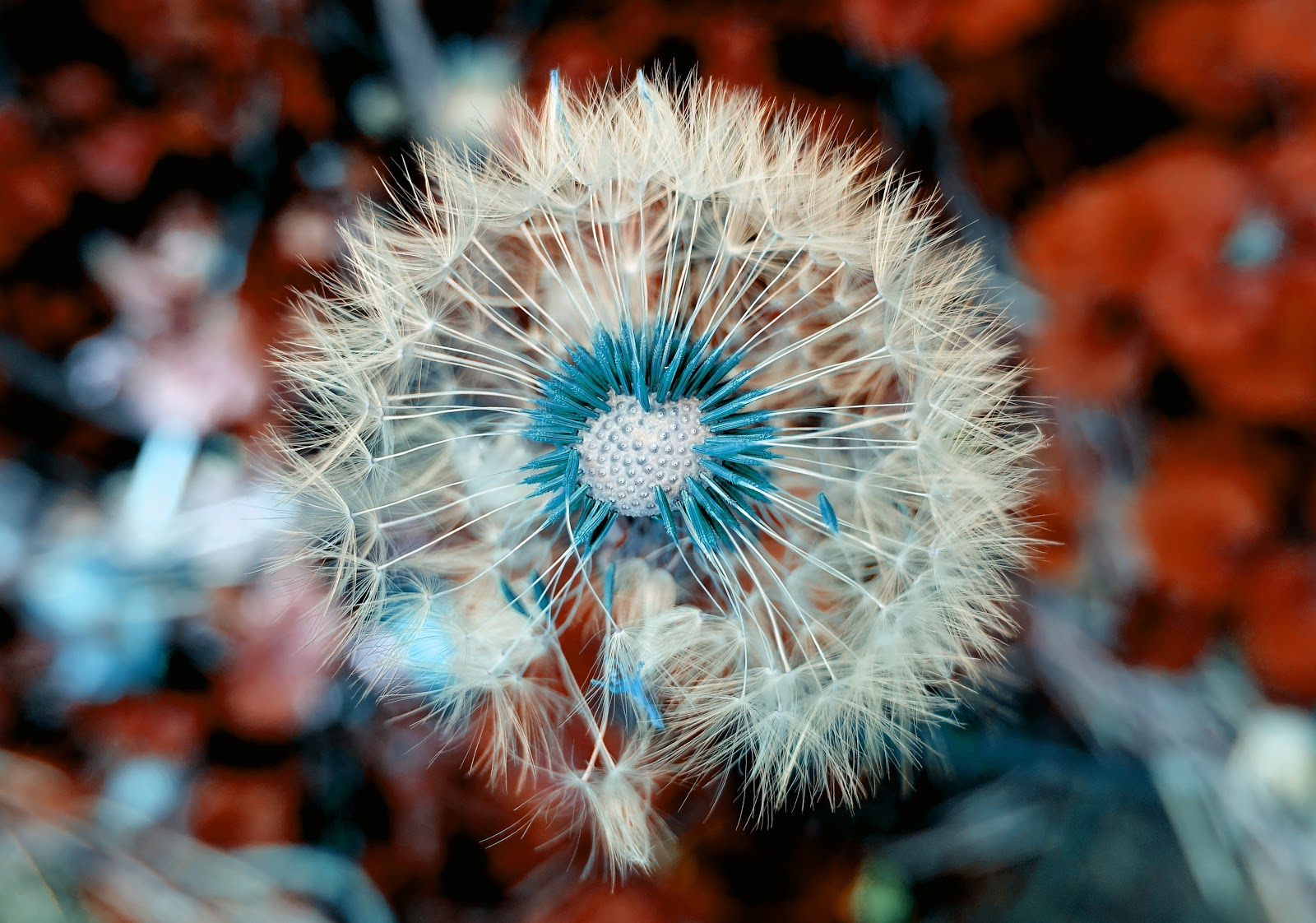 dandelion, flower photo