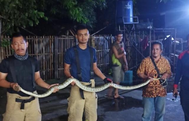Serem, Ular Sanca Sepanjang 2 Meter Ditemukan Di Belakang Kulkas