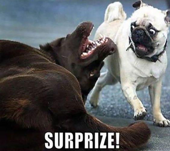 Brown dog face meme - photo#25