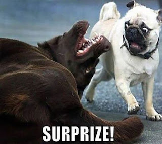 dog surprises pug, brown dog and pug, scared pug, pug funny, pug meme, funny dog pictures