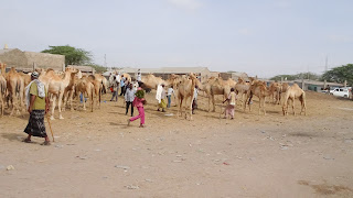 Somalia had camels to ride into the ware against Somaliland