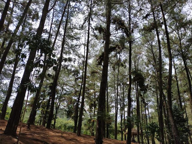 pohon jati menjulang tinggi di wisata alam kroncong sari